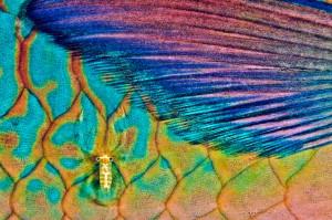 Crevette nettoyeuse sur poisson-perroquet Iles de Raiatea, Polynésie