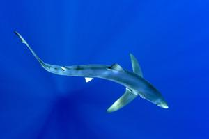 La silhouette du Requin Bleu