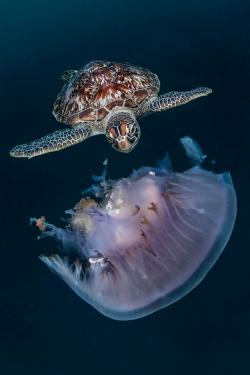 Roscigno Domenico - Italie Tortue verte mangeant une méduse, Atoll de Baa, les Maldives