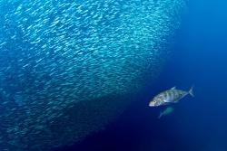 Van Den Borre Els - Belgique Banc de sardines avec des Carangues jaunes, Raja Ampat, Indonésie
