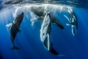 Fabien Michenet - Parade amoureuse de baleines à bosses, Tahiti