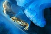 Ianniello Salvatori - Crabe vert dans une Méduse (Rhizostoma pulmo), Golfe de Naple, Italie