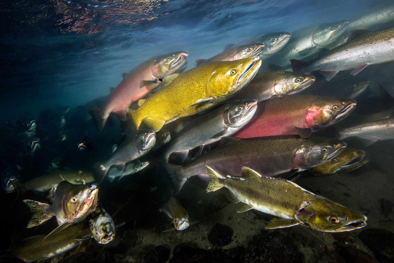 David Salvatori - 3 espèces différentes du Saumon du Pacifique, Campbell River, Colombie-Britannique, Canada
