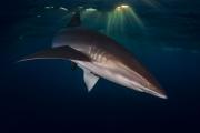 Pacifique, Mexique - Un Requin Soyeux
