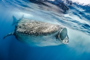 Requin baleine, Isla Contoy, Mexique