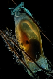 Scyliorhinus canicula , œuf d'une Roussette, île de Giglio, Italie