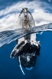 Baleine à bosse, Île de Vava'u, Tonga